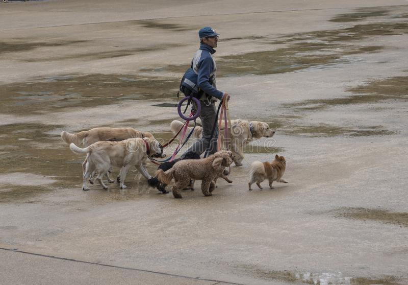 Boston, Massachusetts - October 25, 2018 - Dog walker with six dogs in park. royalty free stock image