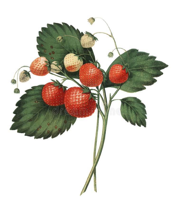 The Boston Pine Strawberry 1852 by Charles Hovey, a vintage illustration of fresh strawberries. Digitally enhancedby rawpixel. vector illustration