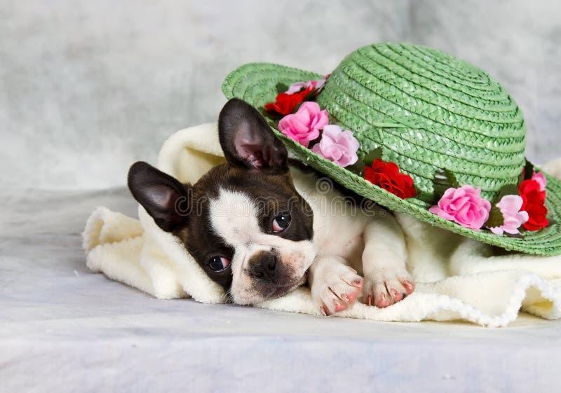 Download Boston Terier Nieatutowy Z Kwiatu Kapeluszem Obraz Stock - Obraz złożonej z pies, zawartość: 28958215