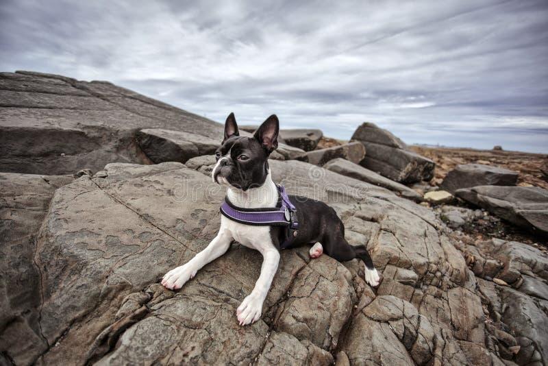 Boston Terrier à la plage pierreuse en Brittany France en été images stock