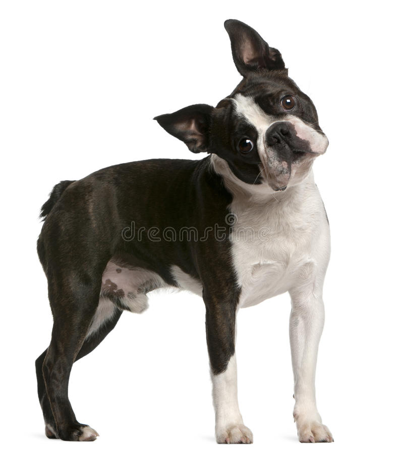 Download Boston Terrier, 1 Year Old, Standing Stock Photo - Image: 20253332