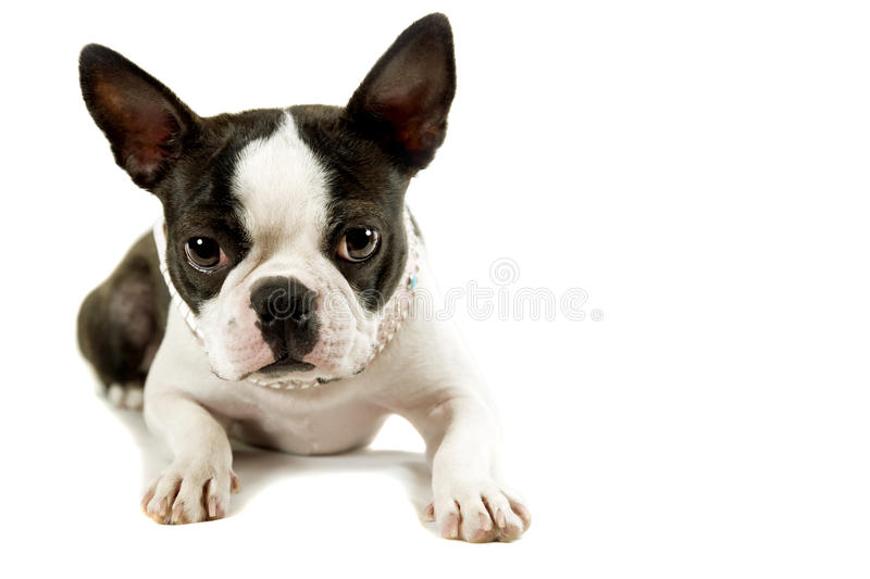Download Boston terrier stock image. Image of hound, puppy, space - 16464977