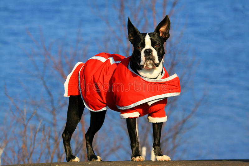 Boston terrier royaltyfri bild