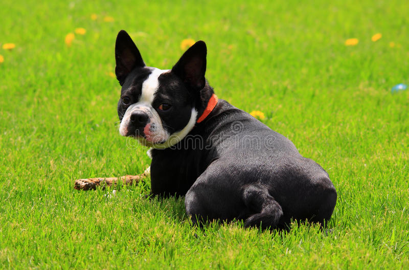 Boston terrier arkivbild