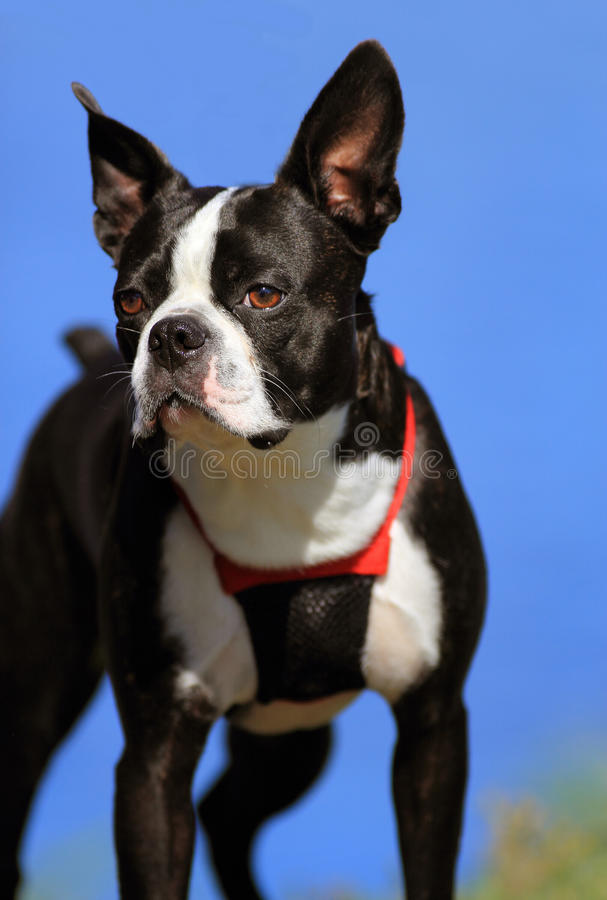 Boston terrier arkivfoto