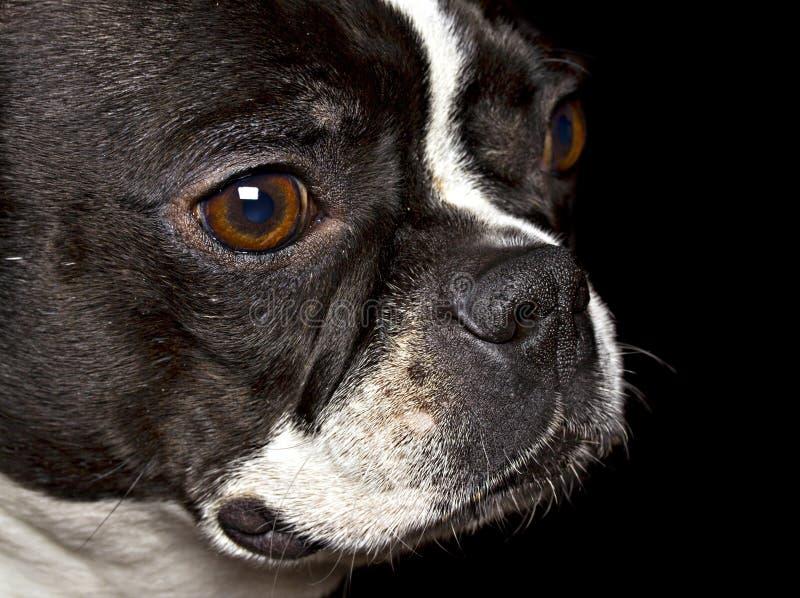 Boston Terrier stock afbeelding