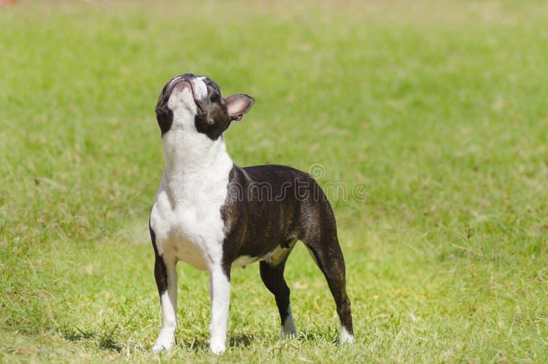 Boston terrier royaltyfria foton