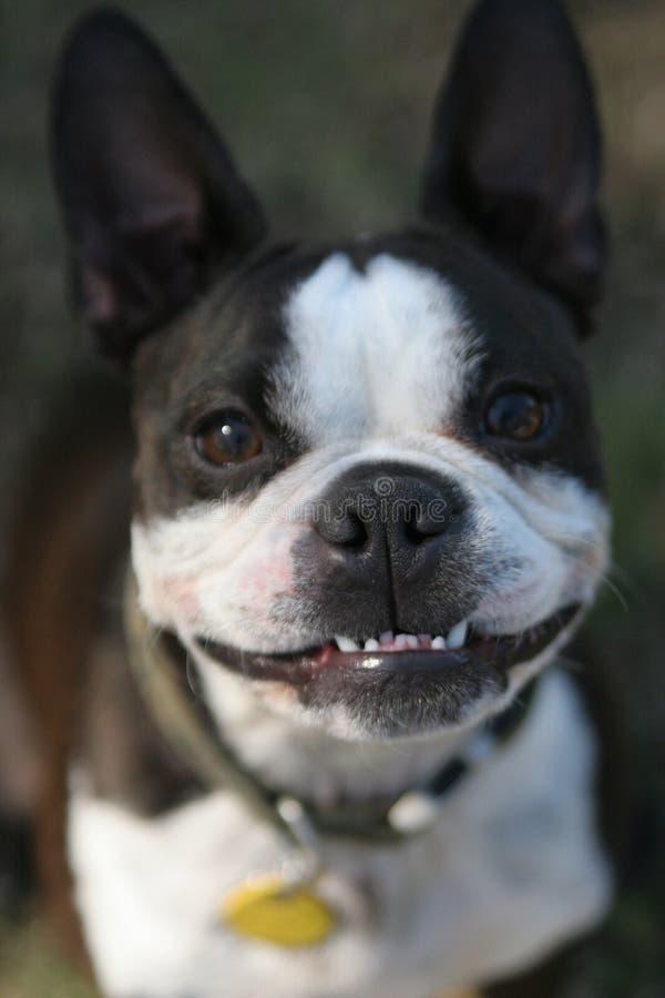 Free Boston Terrier Stock Photography - 4312742