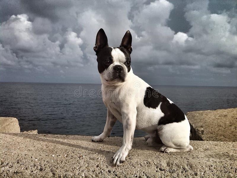 Boston Terrier imagen de archivo