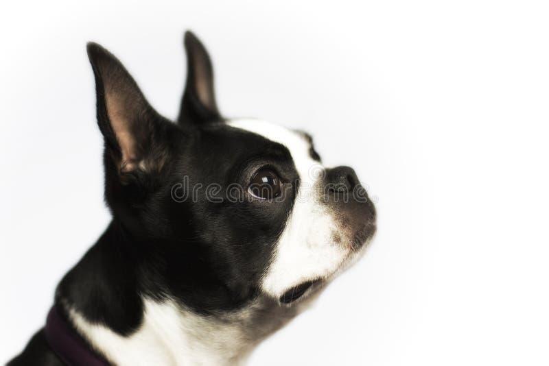 Boston Terrier fotografia de stock royalty free