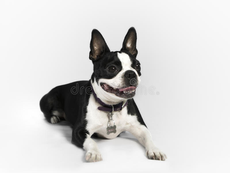 Boston Terrier arkivbilder