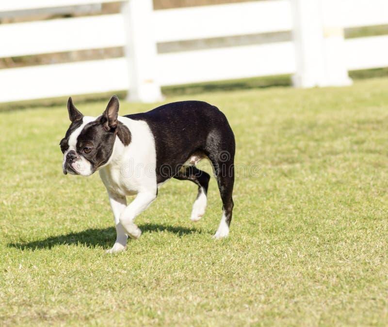 Boston Terrier arkivbild