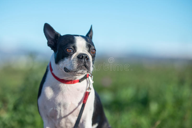 Boston Terrier stock foto's