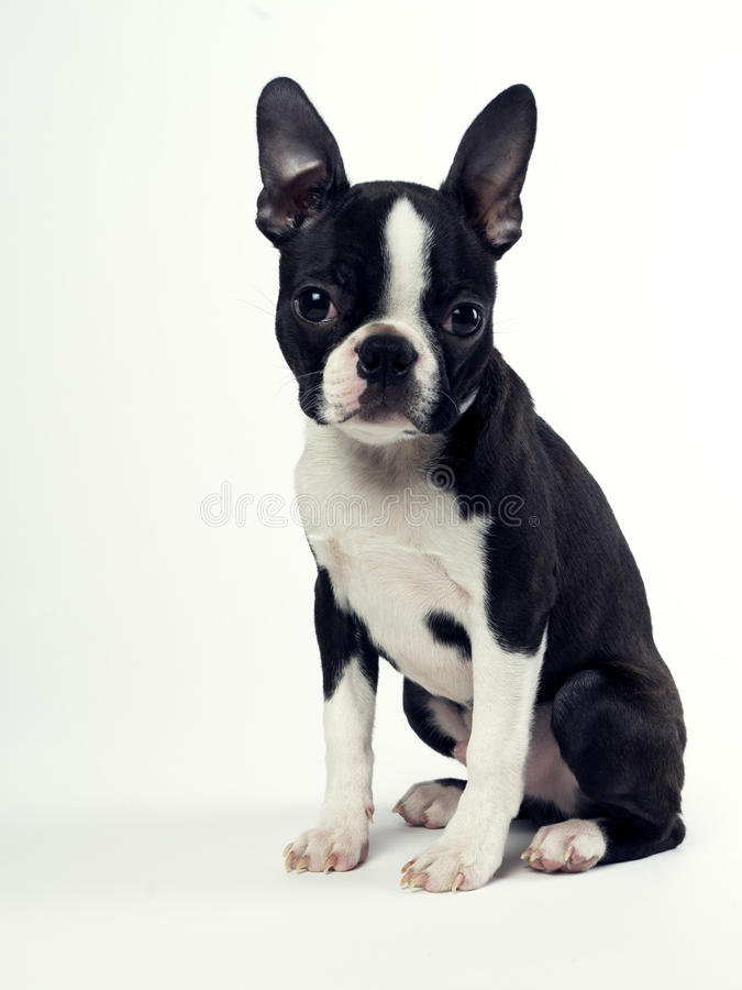 Boston Terrier images libres de droits