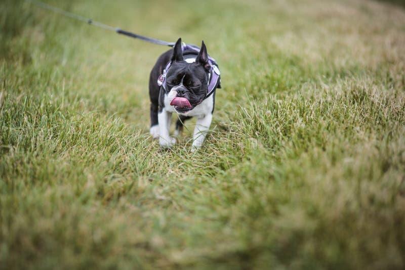 Boston Terrier al aire libre imagen de archivo libre de regalías