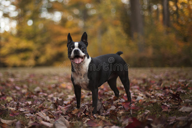 Boston terrier in autumn leaves royalty free stock photo