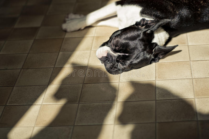 Boston Terrier being watched by two Cats royalty free stock photo