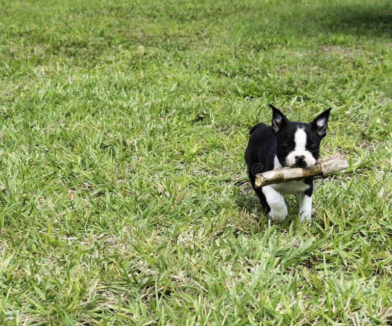 Boston Terrier bieg z kijem fotografia stock
