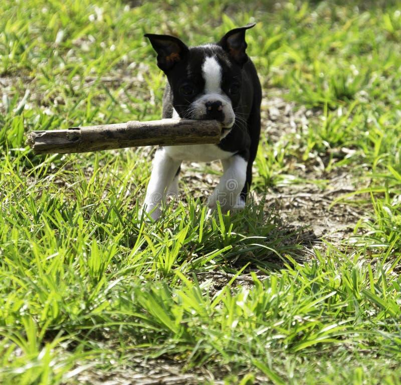 Boston Terrier bieg z kijem fotografia royalty free
