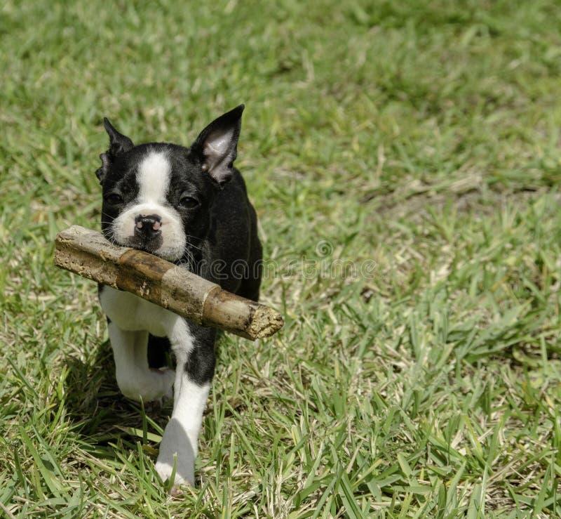 Boston Terrier bieg z kijem obrazy royalty free