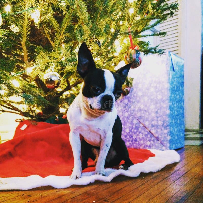 Boston Terrier boże narodzenia zdjęcie stock
