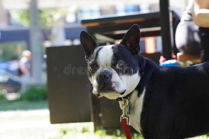 Boston Terrier Deigns Give Its Attention stock images
