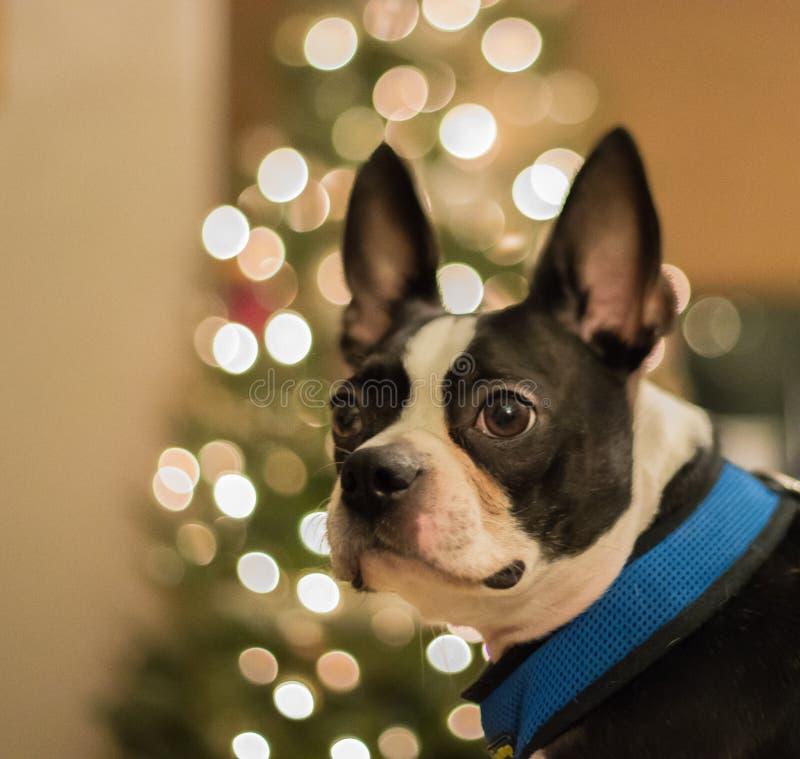 Boston Terrier delante del árbol de navidad fotos de archivo