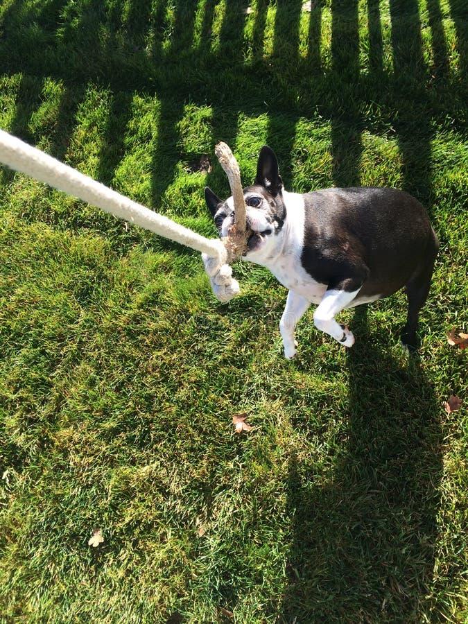 Boston Terrier die van touwtrekwedstrijd genieten royalty-vrije stock afbeelding