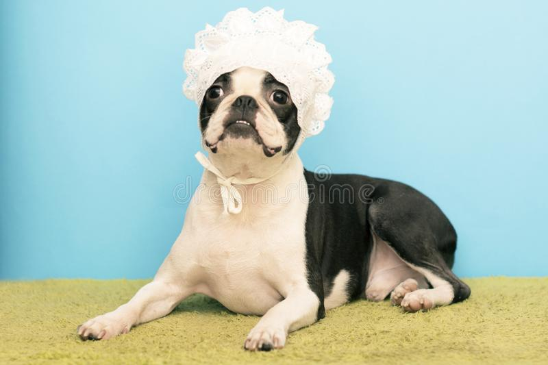 Boston Terrier Dog, dressed in a white children`s lace cap. funny picture stock images