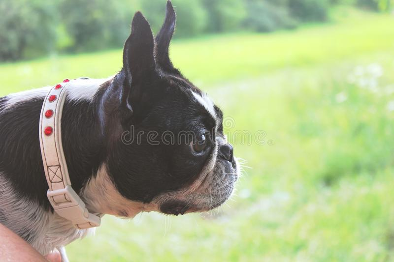 Boston terrier dog head on the summer background royalty free stock photos