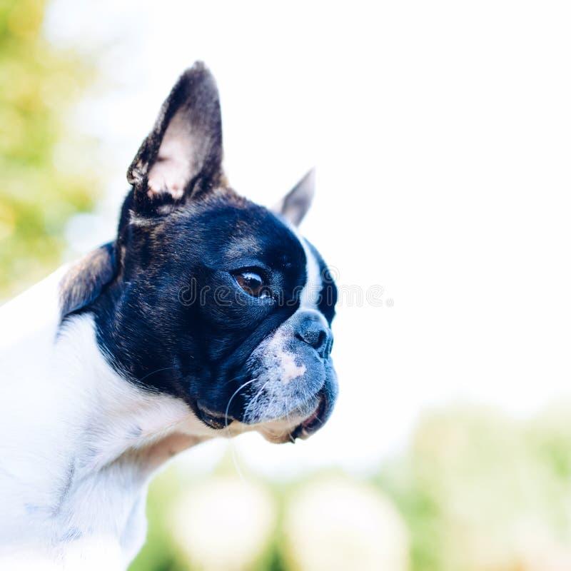 Boston terrier dog on summer background. Boston terrier dog on blurred summer background royalty free stock image