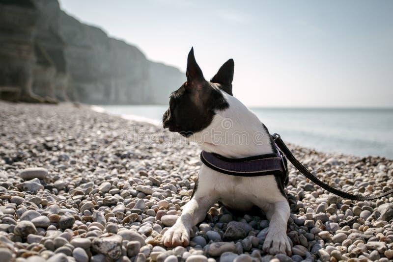 Boston Terrier en la playa imagen de archivo libre de regalías