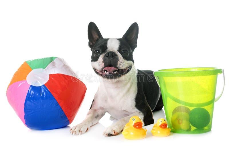 Boston terrier in studio royalty free stock photo