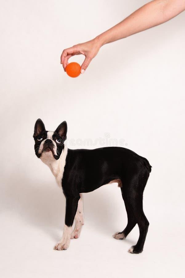 Boston Terrier i zabawka fotografia royalty free