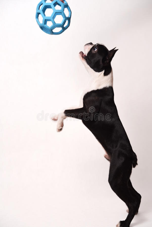 Boston Terrier i zabawka obraz royalty free