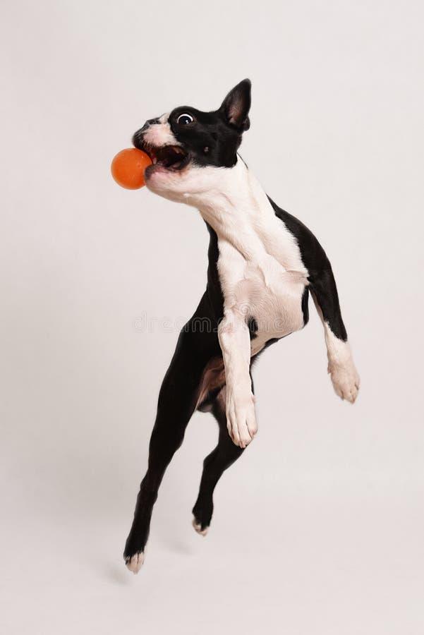 Boston Terrier i zabawka obraz stock