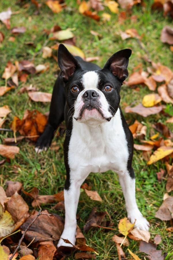 Boston Terrier im Herbst lizenzfreie stockbilder