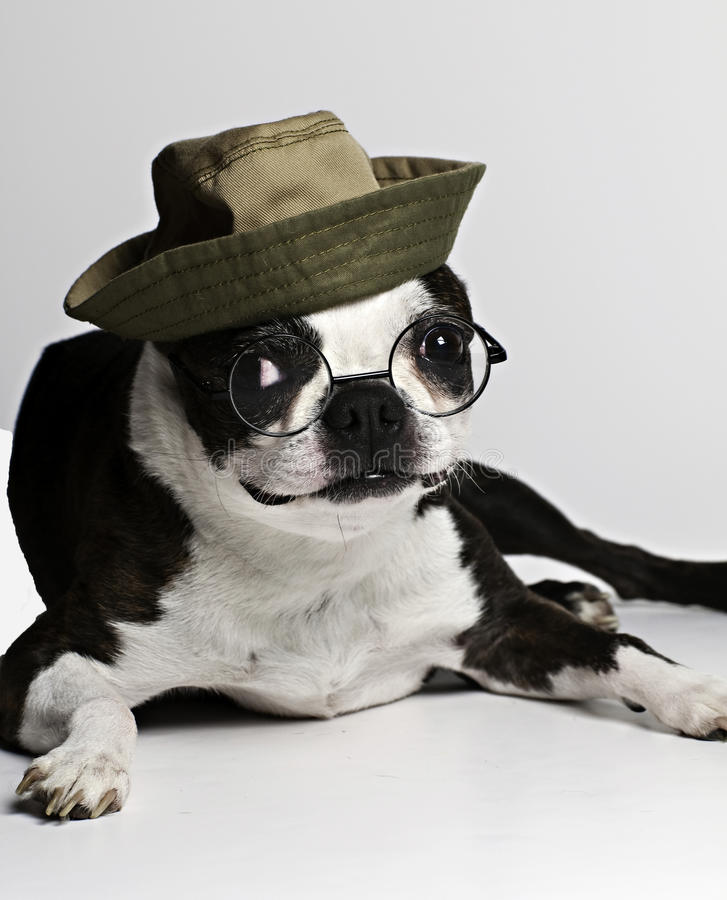 Free Boston Terrier In Hat And Glasses Royalty Free Stock Images - 14905679