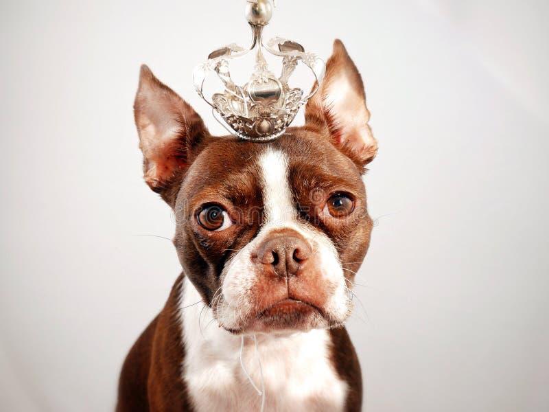 Boston-Terrier mit Krone lizenzfreies stockbild