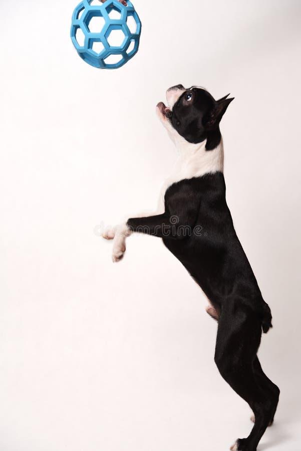 Boston Terrier och leksak royaltyfri bild