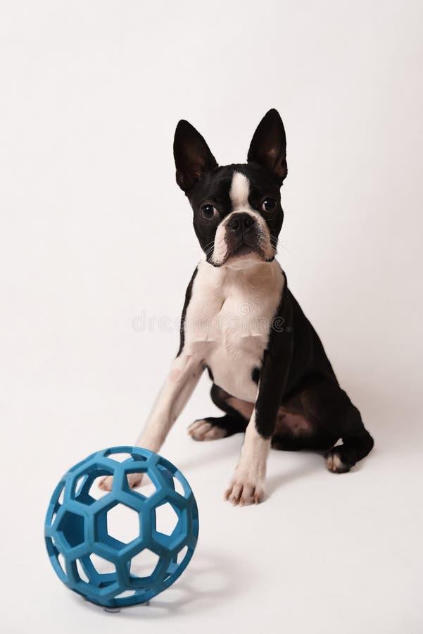 Boston Terrier och leksak arkivfoton