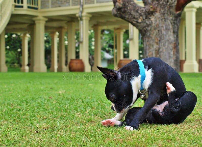 Boston Terrier op het groene gras royalty-vrije stock foto's