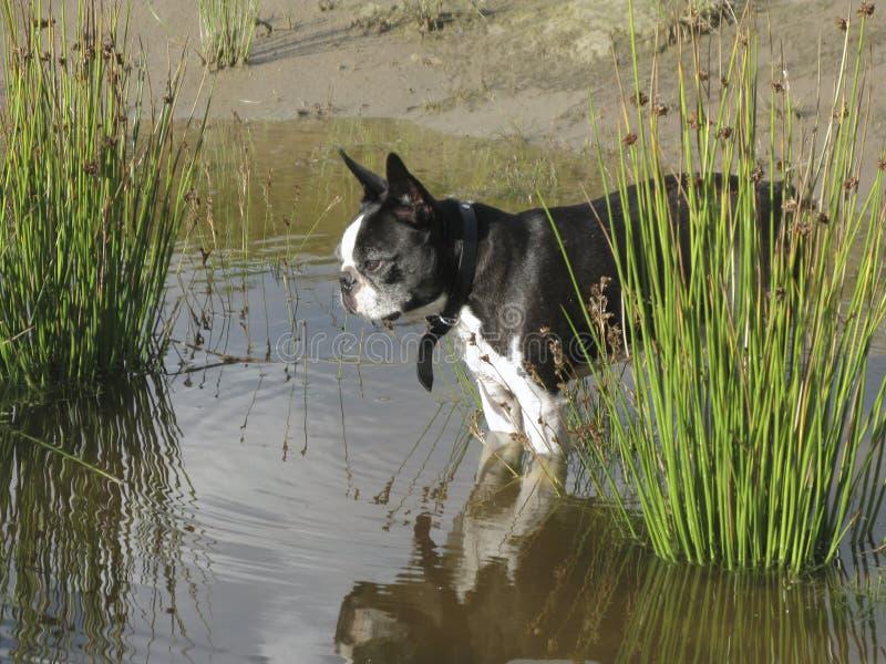 Boston terrier in pond stock photos