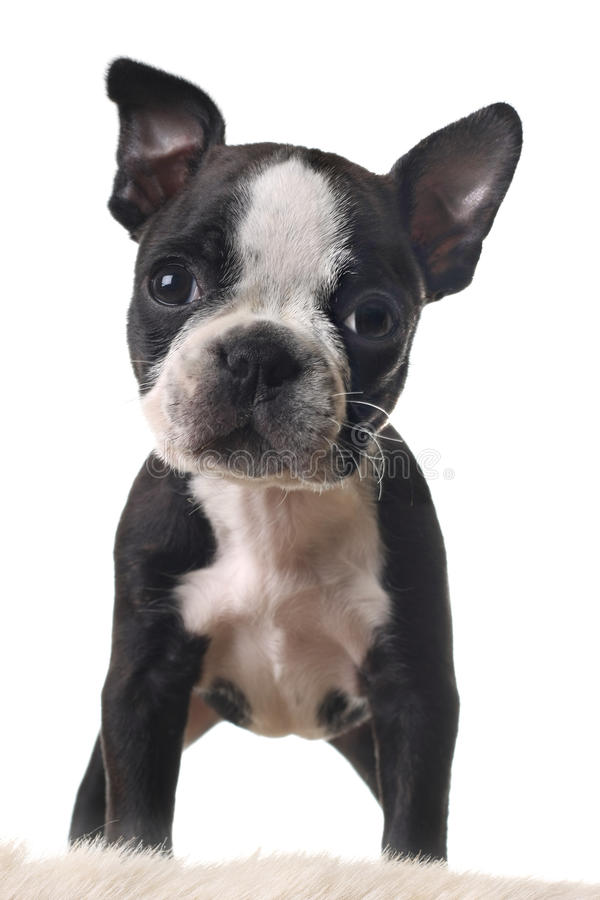 Boston terrier puppy. Isolated on white royalty free stock photography