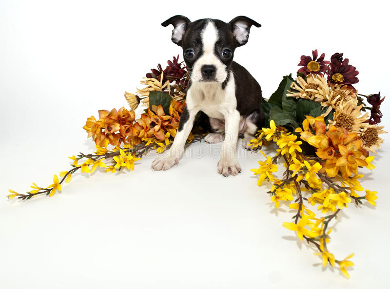Boston Terrier Puppy. Sitting with fall colored flowers around her, on a white background stock photography