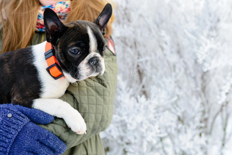 Boston terrier puppy at the hands of its owner stock photo