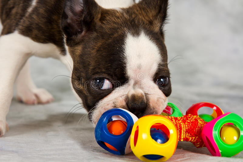 Download Boston terrier puppy play stock image. Image of purebred - 29324065