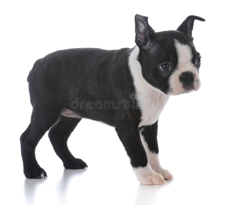 Boston terrier puppy standing. Isolated on white background royalty free stock photos