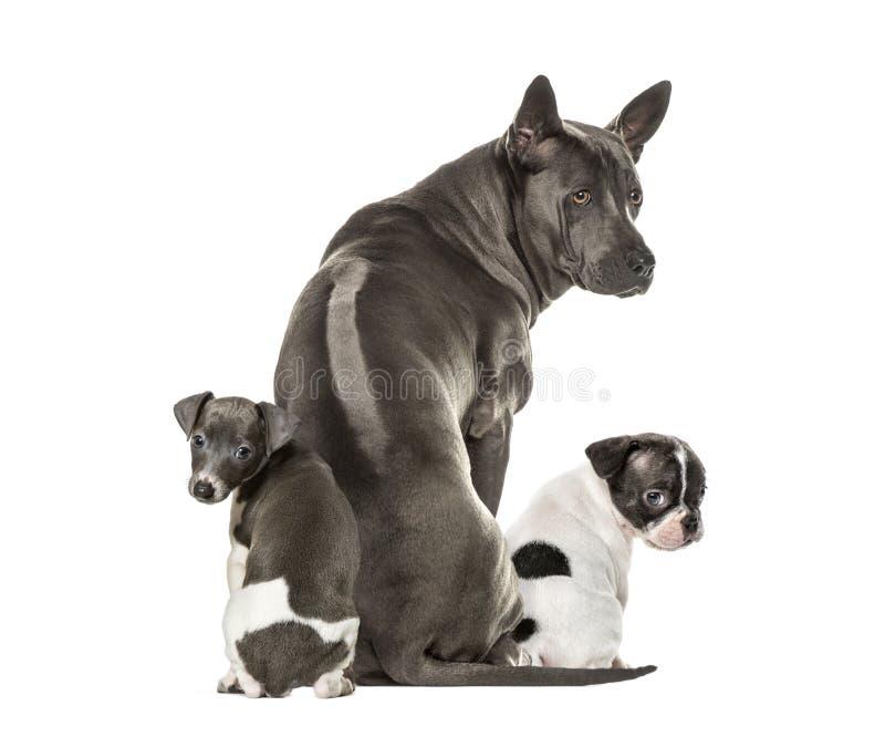 Boston terrier, Rhodesian ridgeback, Italian Greyhound puppy stock photography