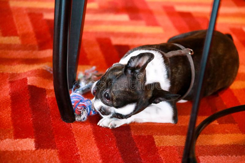 Boston Terrier sweet dog breed is playing and enjoys with his favorite toy, violet ball for dogs on floor, red carpet at house. Boston Terrier sweet dog breed stock photography